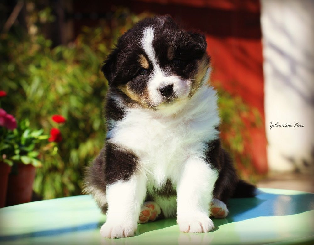 Of Yellowstone River - Chiot disponible  - Berger Australien