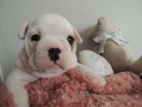 Du Domaine Du Béal - Chiot disponible  - Bulldog Anglais