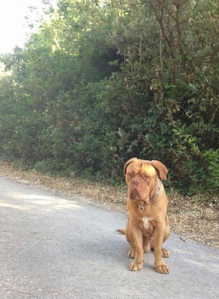 Accueil Elevage Dogue Force One Eleveur De Chiens Dogue De Bordeaux