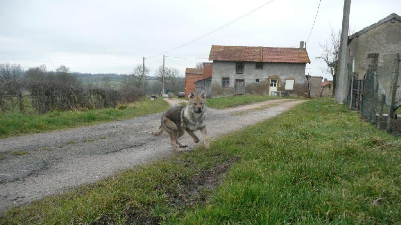 chien loup de saarloos a vendre