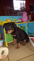 Chiots Berger de Beauce