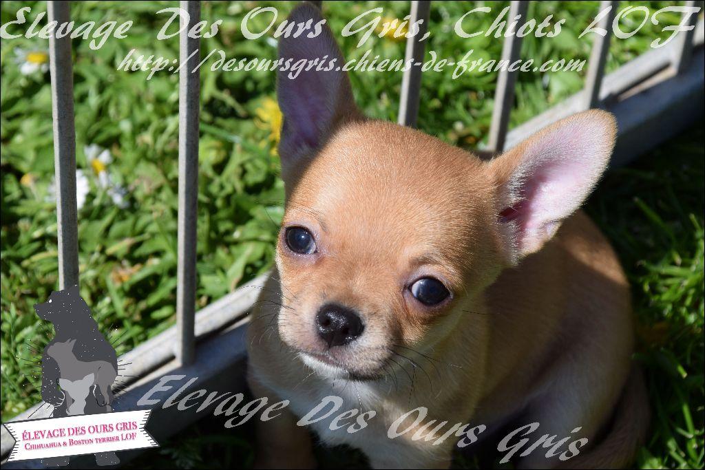 Des Ours Gris - Chiot disponible  - Chihuahua