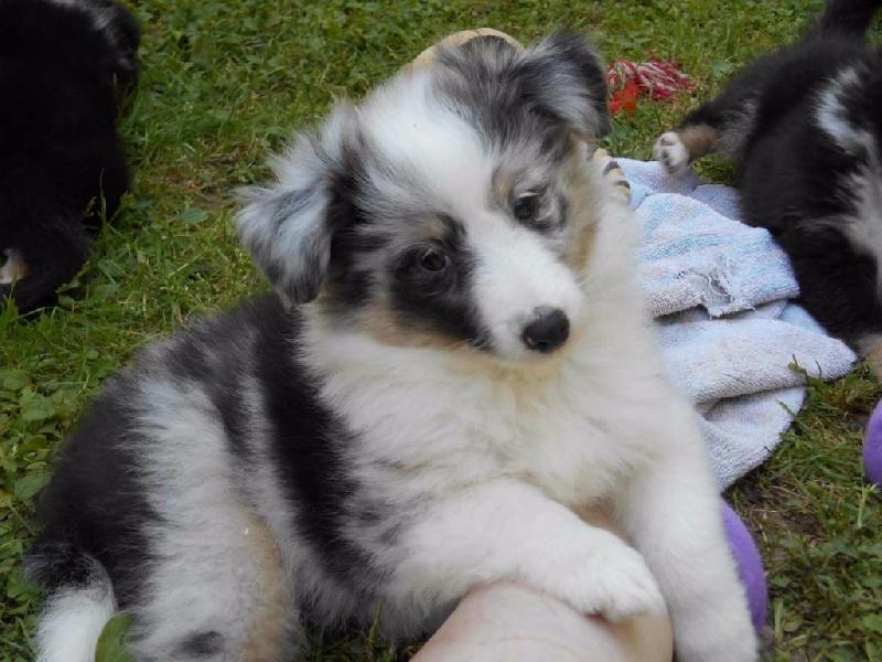 Du Crépuscule De Vénus - Chiot disponible  - Shetland Sheepdog