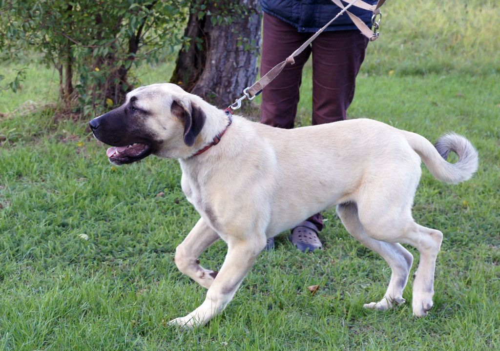 Star of Isis - Chiot disponible  - Berger d'Anatolie