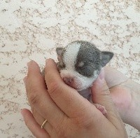 Chihuahua - (Sans Affixe)