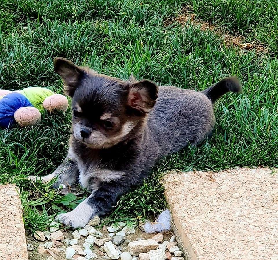 Olympe - Chihuahua