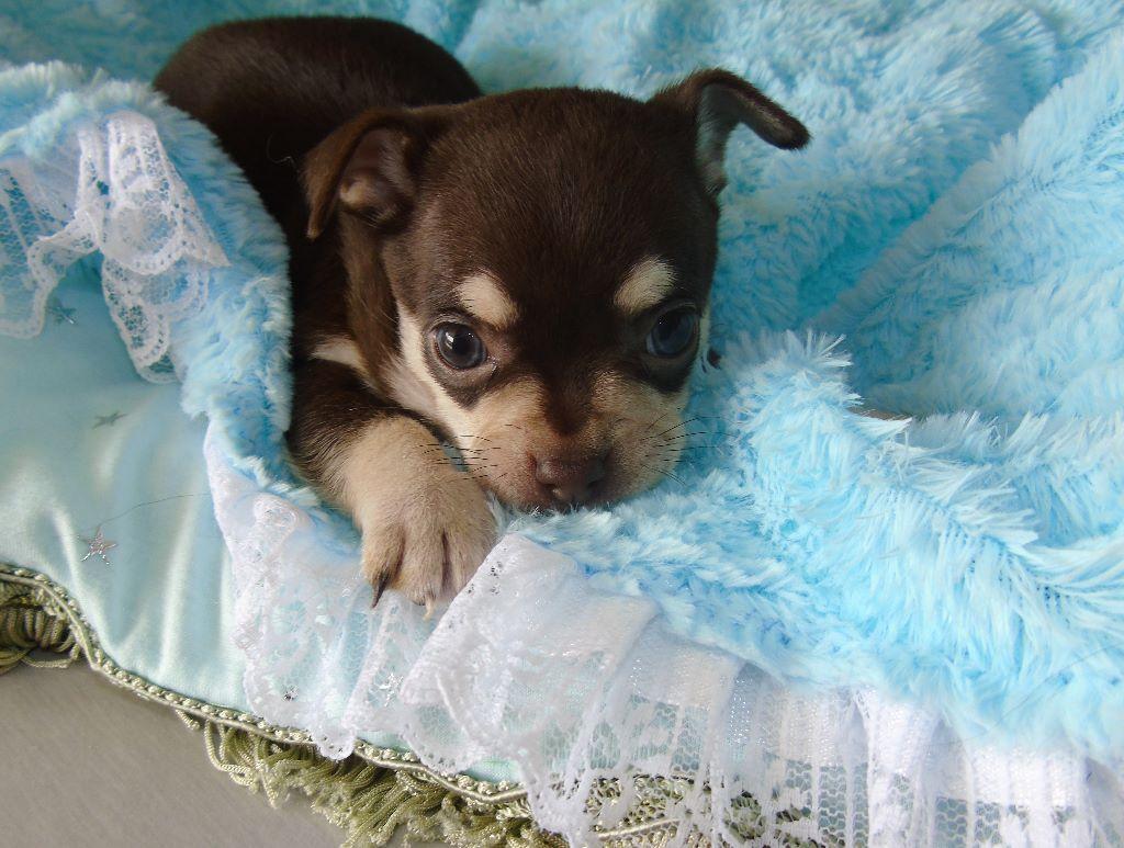 Nora Bouldieb - Chiot disponible  - Chihuahua