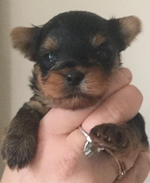 De L'Eternelle Smartys - Chiot disponible  - Yorkshire Terrier