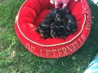 Yorkshire Terrier - De L'Eternelle Smartys