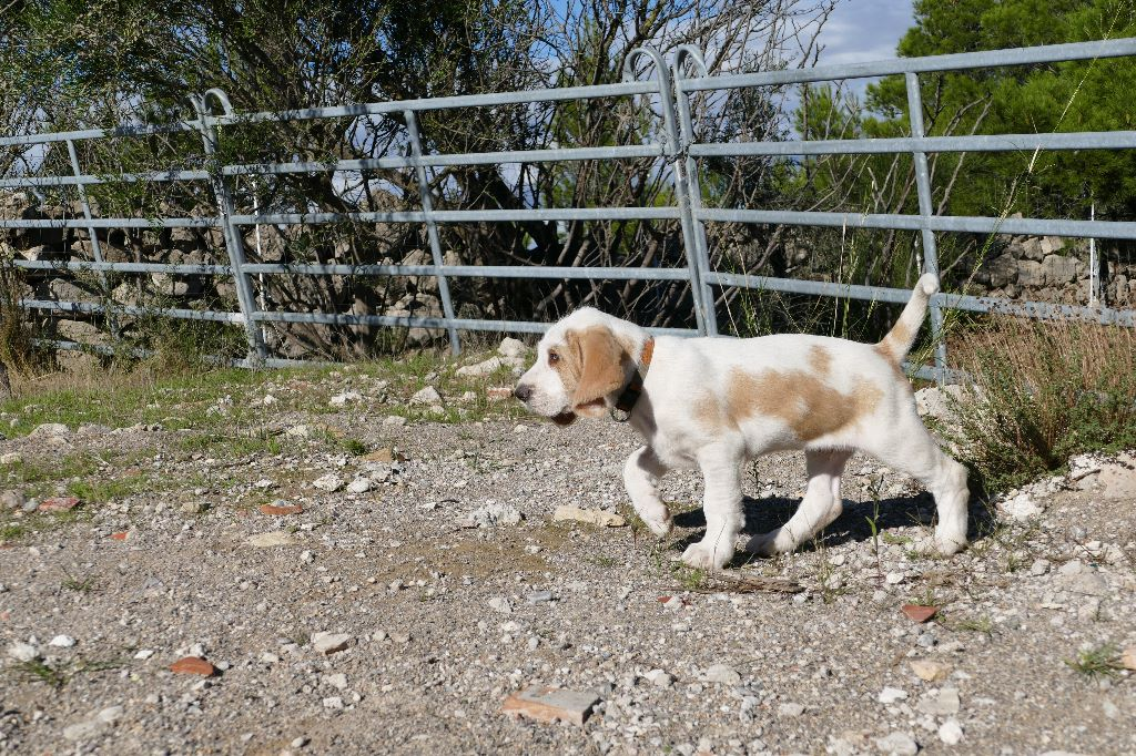 Du Pech De La Ginestelle - Chiot disponible  - Grand griffon vendeen