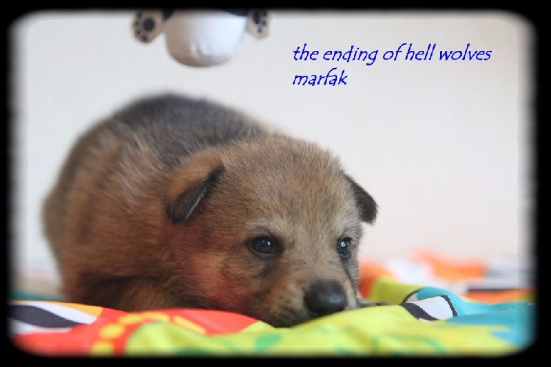The Ending Of Hell Wolves - Chiot disponible  - Chien-loup tchecoslovaque