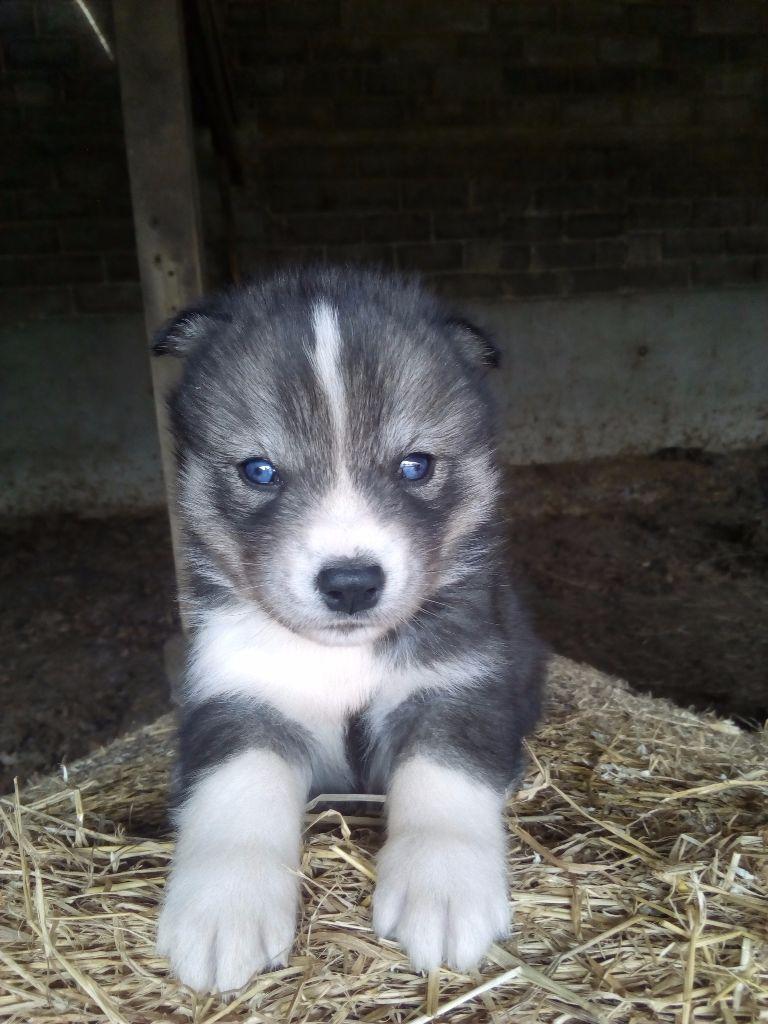 Chiot - Elevage Des Perles D'Haiti - eleveur de chiens Siberian Husky