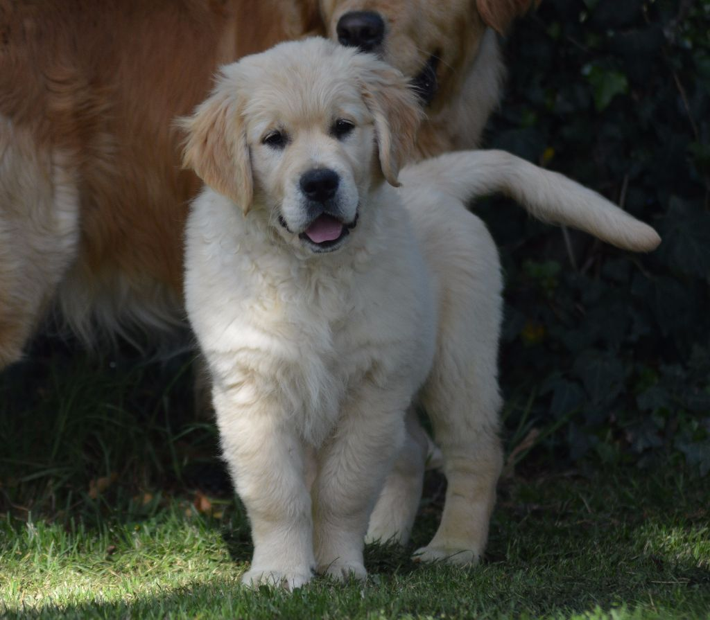 Publication : Des Puppys Goldens Love