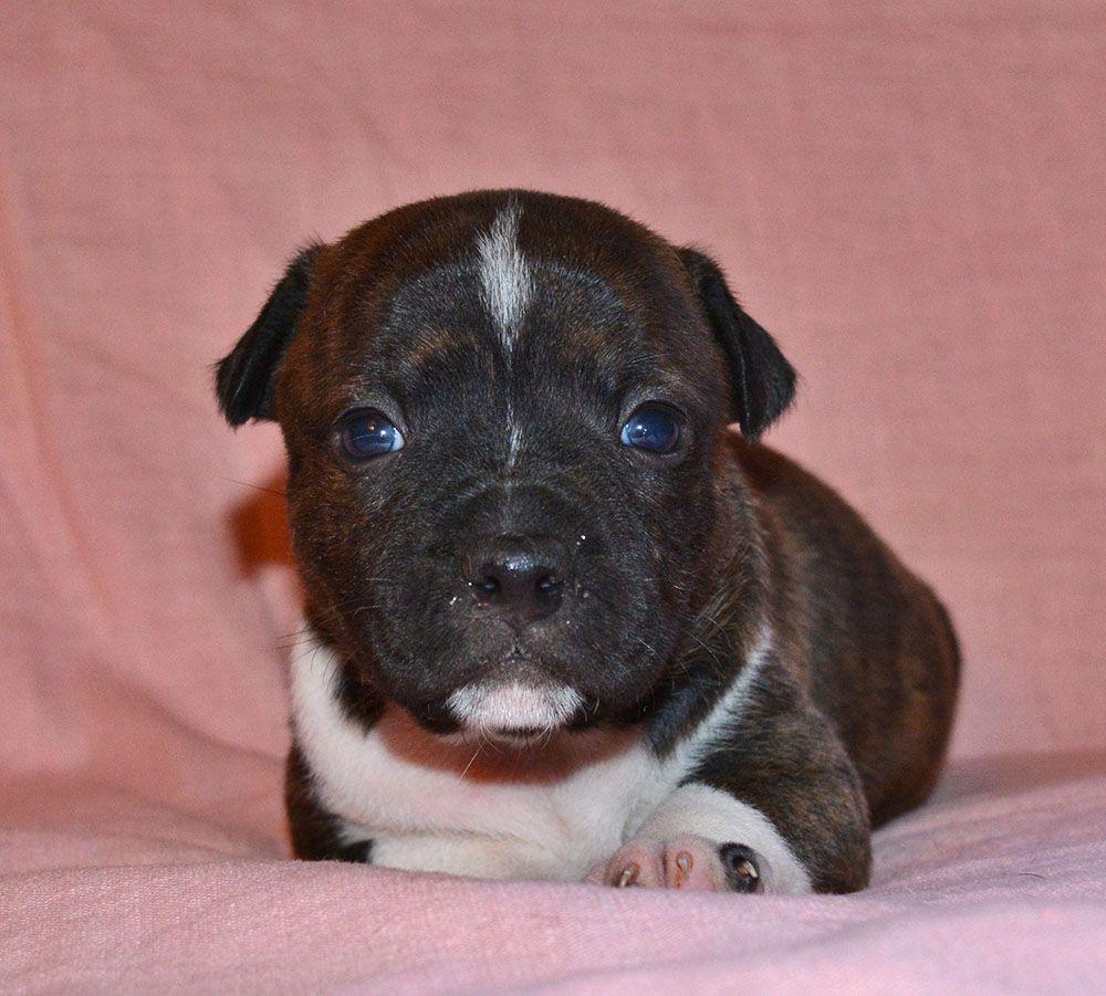 Femelle 1 - Staffordshire Bull Terrier