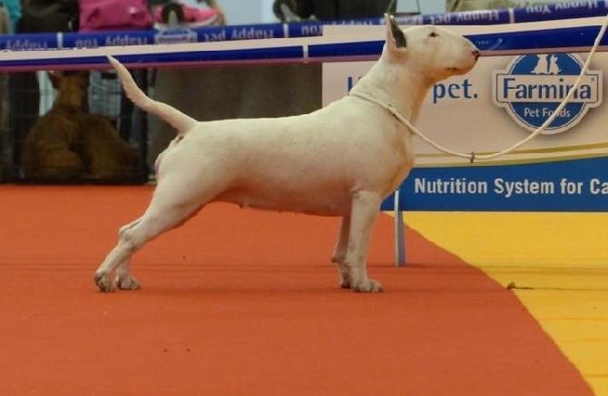 Accueil - Elevage Des Bulls Du Hainaut - eleveur de chiens