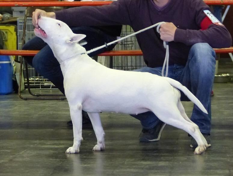 Chien - Elevage Des Bulls Du Hainaut - eleveur de chiens
