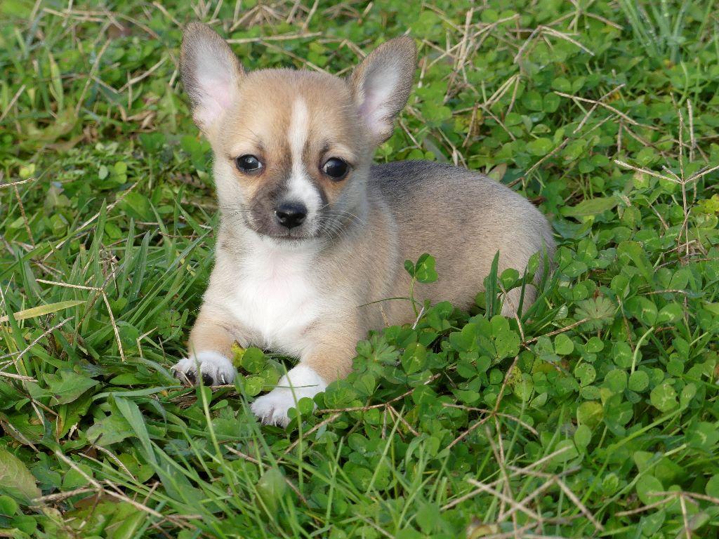 du Domaine des Ecorces - Chiot disponible  - Chihuahua