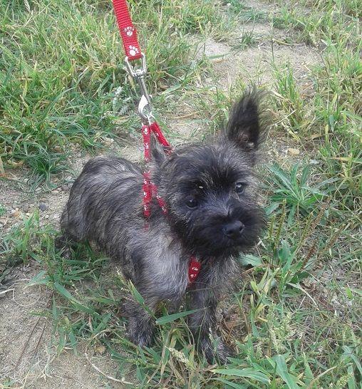 du Domaine des Ecorces - Chiot disponible  - Cairn Terrier