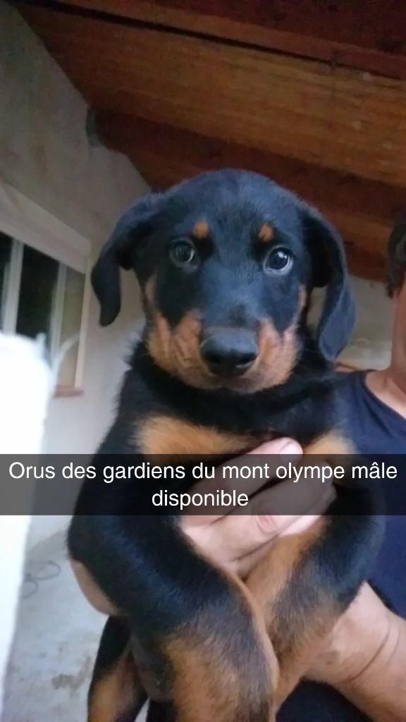 Des Gardiens Du Mont Olympe - Chiot disponible  - Berger de Beauce
