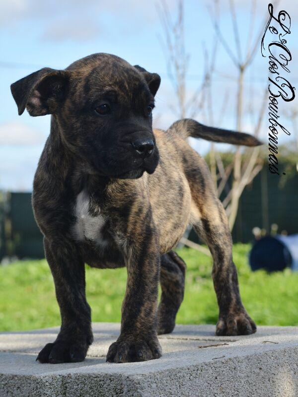 Nouka's Bande - Chiot disponible  - Dogue de Majorque