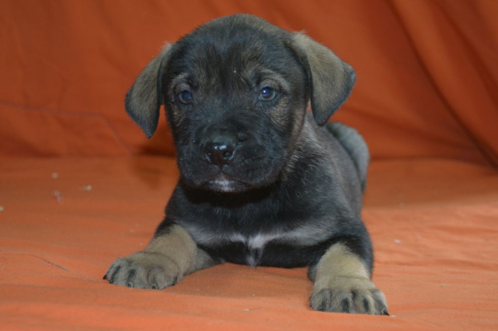 Nouka's Bande - Chiot disponible  - Dogue de Majorque