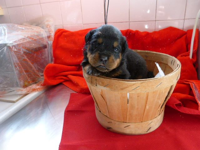 CHIOT- collier Rouge - Rottweiler