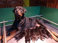 Rottweiler - De L'eden Des Rotts