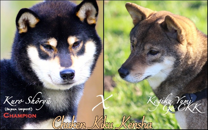 Go Chuken Kiku Kensha - Gestation confirmée !
