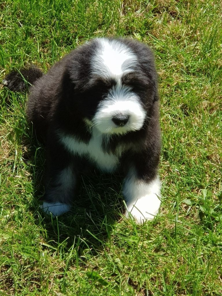 de L'Ouvernhat - Chiot disponible  - Bearded Collie