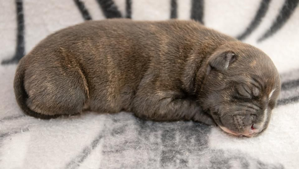 Staffanatic's - Chiot disponible  - Staffordshire Bull Terrier