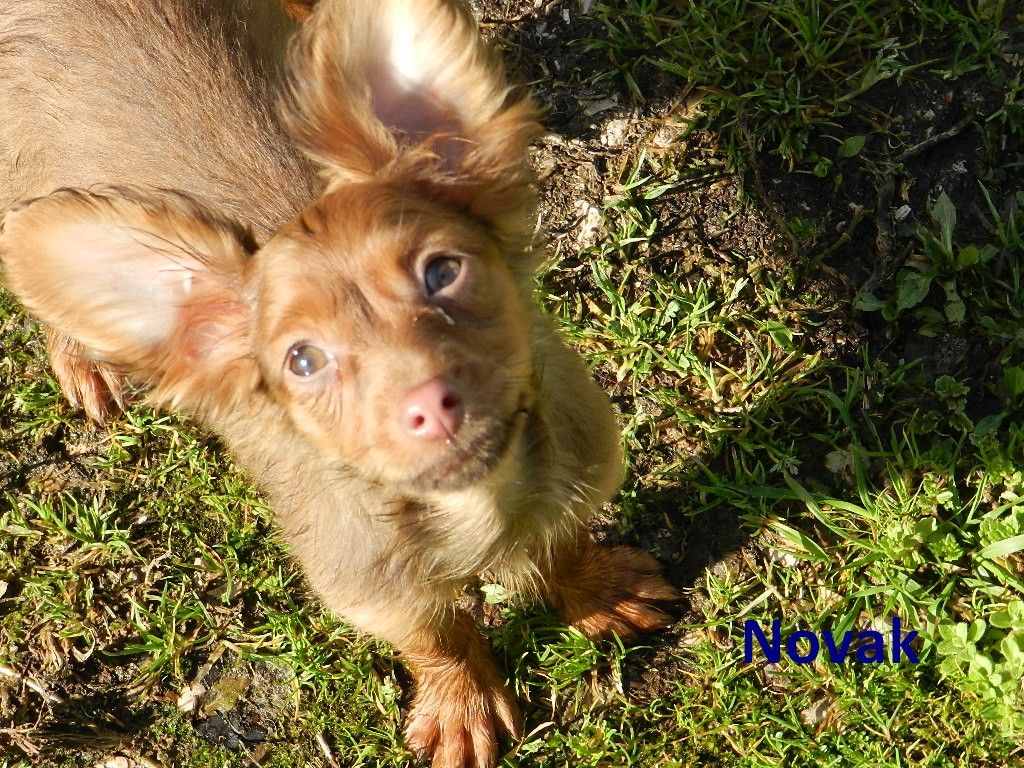CHIOT - Russkiy Toy (Petit Chien Russe)