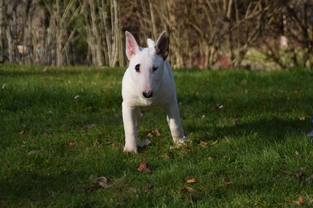 Thud and cuddles - Chiot disponible  - Bull Terrier