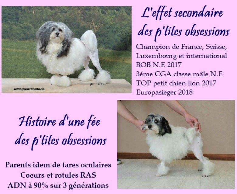 des P'Tites Obsessions - Petit chien lion - Portée née le 01/07/2018