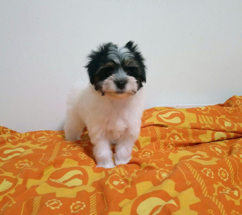 des P'Tites Obsessions - Chiot disponible  - Petit chien lion