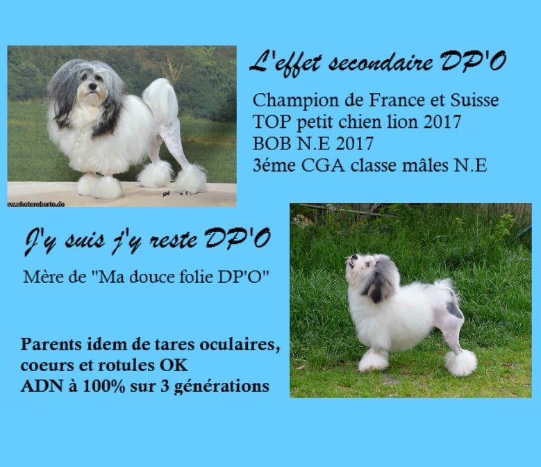 des P'Tites Obsessions - Petit chien lion - Portée née le 17/03/2018