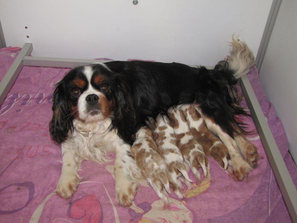 Chiot elevage du clos de larpege eleveur de chiens cavalier king charles spaniel - Chiot cavalier king charles gratuit ...