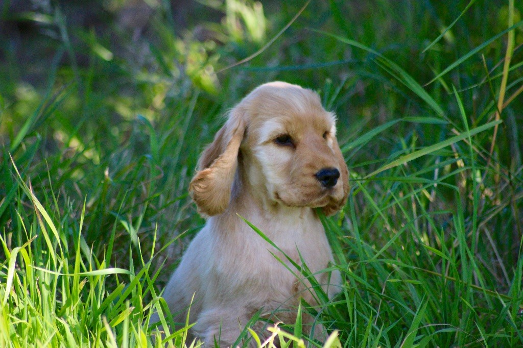 Mèden Âgan - Chiot disponible  - Cocker Spaniel Anglais