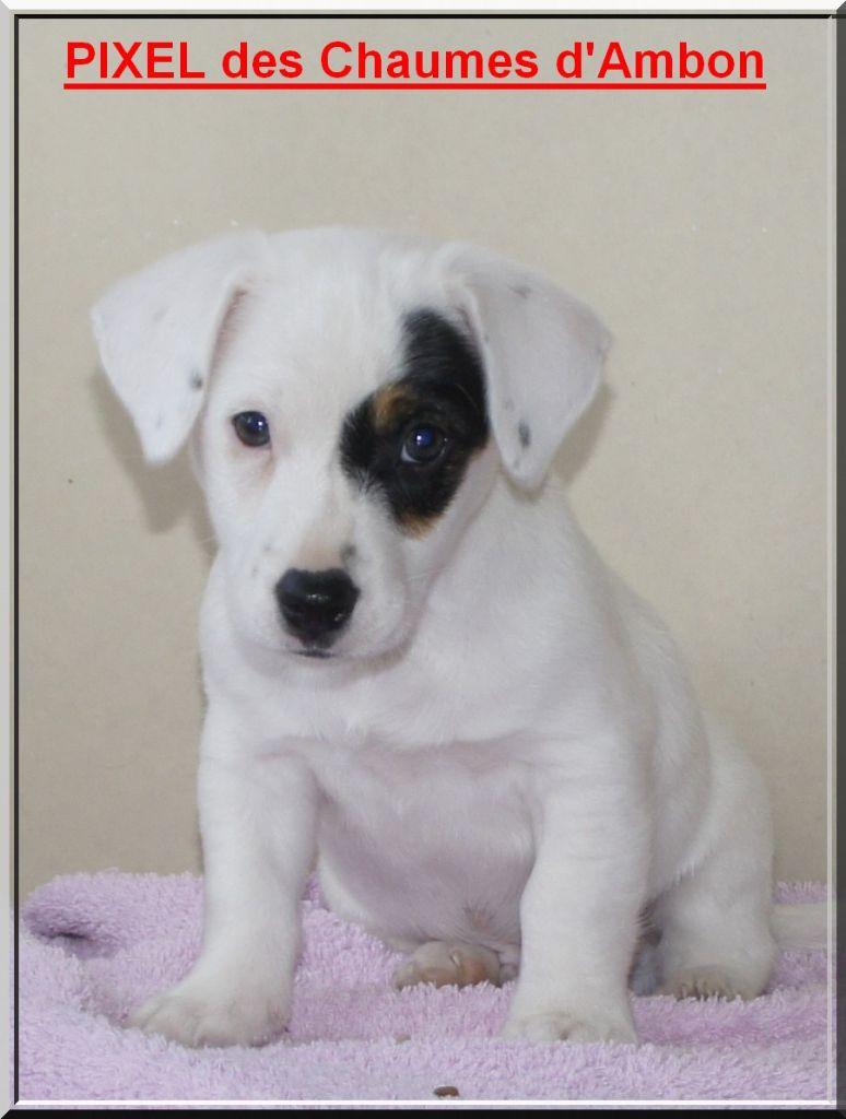 des Chaumes D'Ambon - Chiot disponible  - Jack Russell Terrier