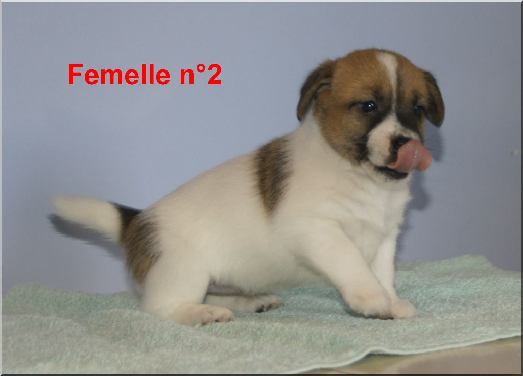 des Chaumes D'Ambon - Chiot disponible  - Jack Russell Terrier