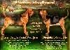 - Superbes chiots Bloodhound en vente