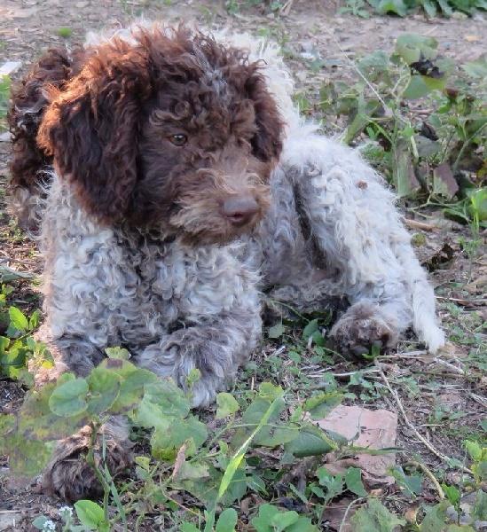 Chiot - Elevage du clos de Montaigu - eleveur de chiens