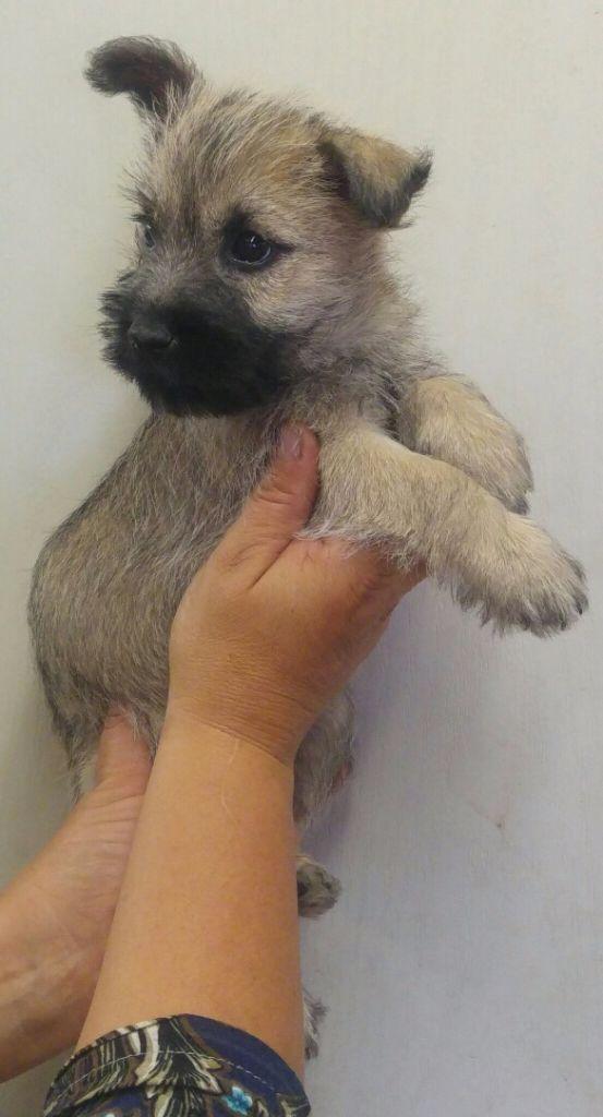 du mas du zouave - Chiot disponible  - Cairn Terrier
