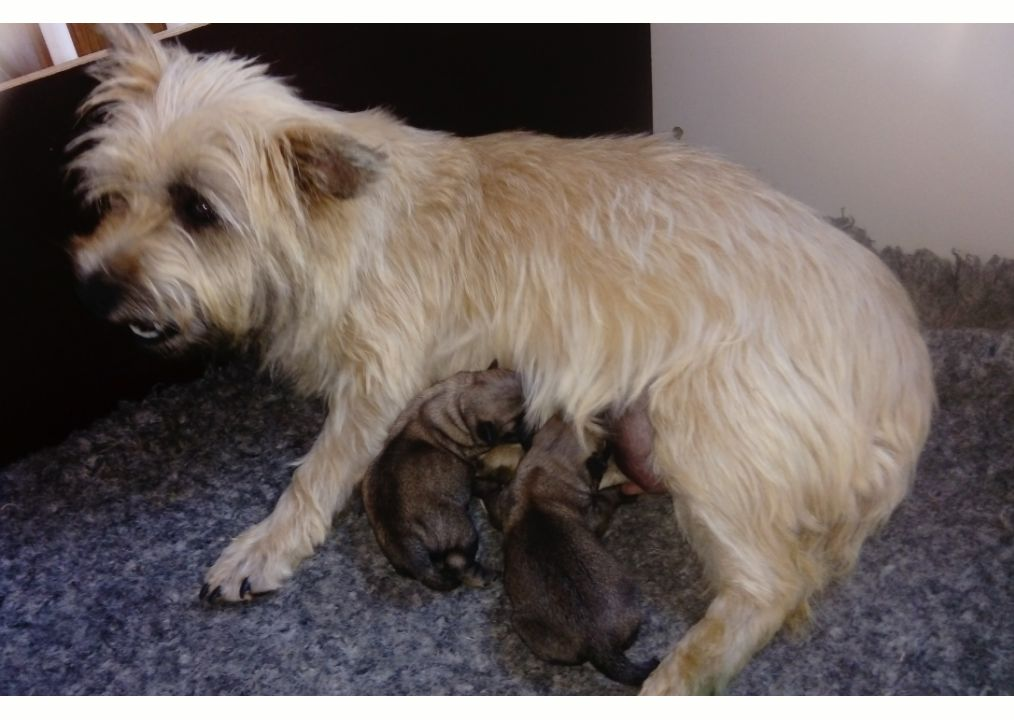 du mas du zouave - Chiot disponible  - Cairn Terrier