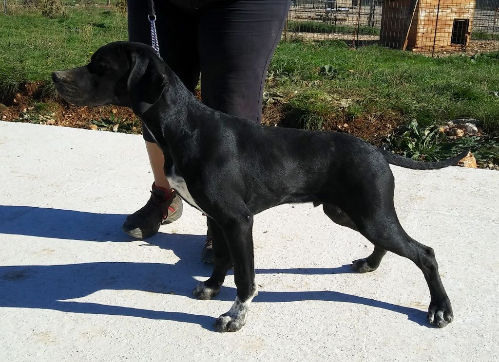 du mas du zouave - Chiot disponible  - Pointer