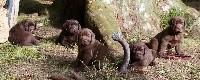 Labrador Retriever - Of evergreen oak