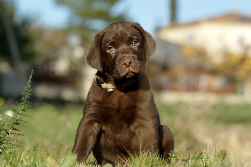 Of evergreen oak - Chiot disponible  - Labrador Retriever