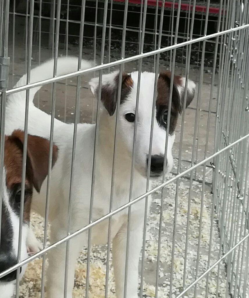 de Vallauris des astucieux - Chiot disponible  - Fox Terrier Poil lisse