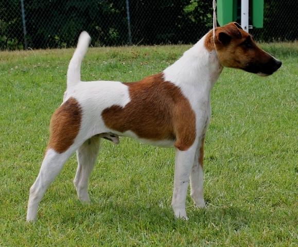 Accueil Elevage De Vallauris Des Astucieux Eleveur De Chiens Fox Terrier Poil Lisse Chiots Poil Lisse