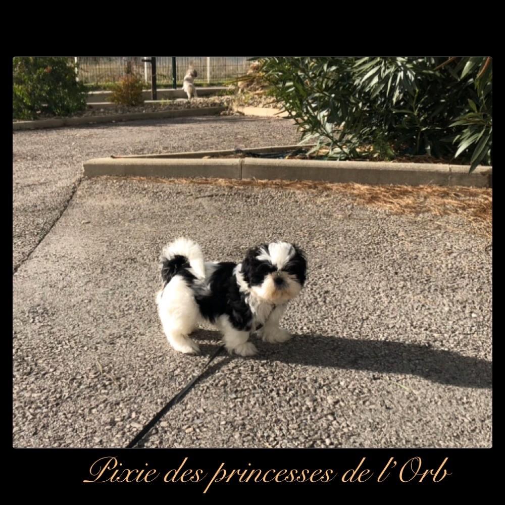 Des Princesses De L'Orb - Chiot disponible  - Shih Tzu