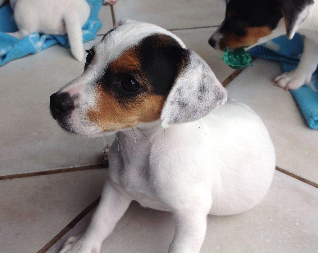 Chiot Jack Russell Terrier, femelle disponible en Hauts-de